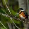 American Pygmy Kingfisher (female).