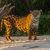 Jaguar no. 3 on sand