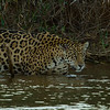 Jaguar entering stream