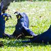 Hyacinth Macaws at play
