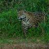 Jaguar no.3 in brush