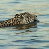 Jaguar  swimming-near boats