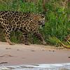 Jaguar into bush