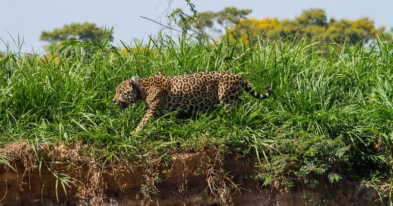 Jaguar 2, again.