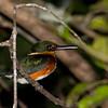 American Pygmy Kingfisher (male)