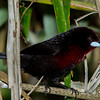 Silver-beaked Tanager (male)