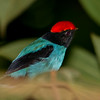 Blue Manakin (aka Swallow-tailed Manakin)