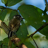 White-barred Piculet (female)