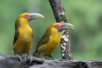 Pair of Saffron Toucanets