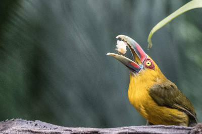 Hungry Saffron Toucanet