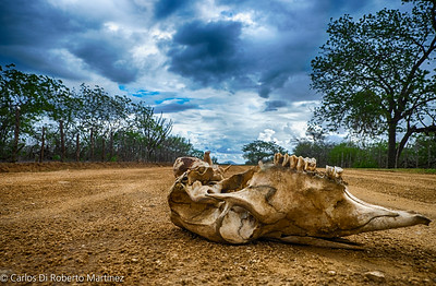 "Cow Head Paraiba State ""Sertao"", near Cabaceiras"