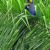 Blue hyacinth macaw-12