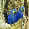 BLue hyacinth macaw-27