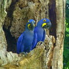 BLue hyacinth macaw-24