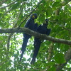 BLue hyacinth macaw-33