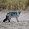 Crab Eating Fox ( Cerdocyon thous )