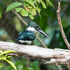 Amazon Kingfisher (male)