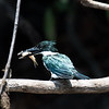 Amazon Kingfisher (female)