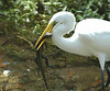 Great Egret with Lizard.  Try to eat ME will you?  I stick out my tongue at you.