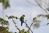 Caatinga Parakeet 4