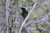 Black-Bellied Antwren