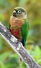 Maroon-Bellied Parakeet 1