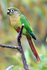 Maroon-Bellied Parakeet 6
