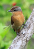 Chestnut-Crowned Becard 1