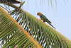 Golden-Capped Parakeet 1