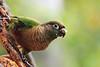 Maroon-Bellied Parakeet 4