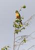 Caatinga Parakeet 6
