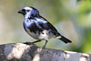 Whire Bellied Tanager
