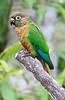 Maroon-Bellied Parakeet 5