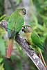 Maroon-Bellied Parakeets