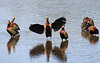 White Faced Whistling Ducks-1