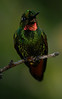BrazilHummingBirds (53)