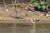 Solitary sandpiper (Tringa solitaria) on the river bank, Pixaim River, Pantanal, Brazil