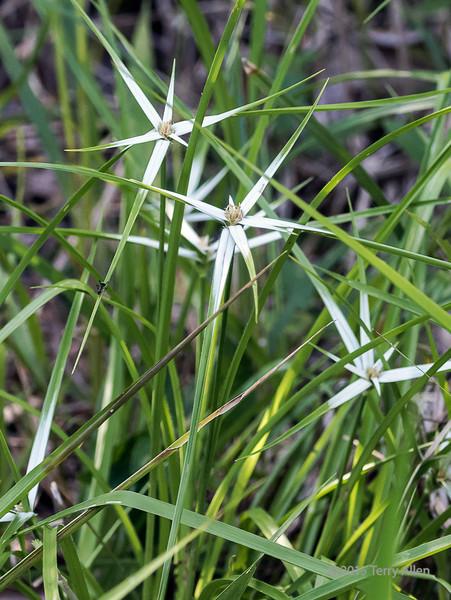 Star grass (Dicromena colarata) with an ant (middle left), Pixaim River, Pantanal, Brazil