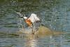 Gotcha!<br /> <br /> Ringed kingfisher (Megaceryl torquata) catching a fish, Pixaim River, Pantanal, Brazil