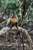 Brown capuchin monkey (Cebus apella) on a curving branch (best larger)<br /> <br /> One of a group of wild monkeys near Fazenda Saint Tereza, Pantanal, Brazil