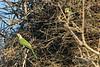 A home within a home<br /> <br /> Monk parakeets (Myiopsitta monacus cotorra) making a home in a stork's nest, Fazenda Saint Teresa, Pantanal, Brazil