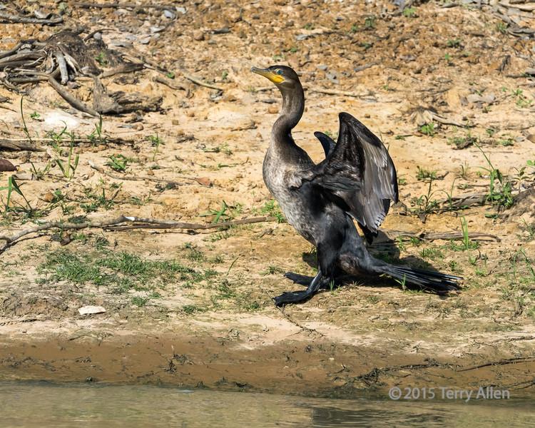 Neotropic cormorant (Phalacrocorax brasilianus) on the banks of the Pixaim River, Pantanal, Brazil