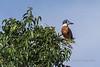 Ringed kingfisher (Megaceryle torquata) in a tree, Pixaim River, Pantanal, Brazil