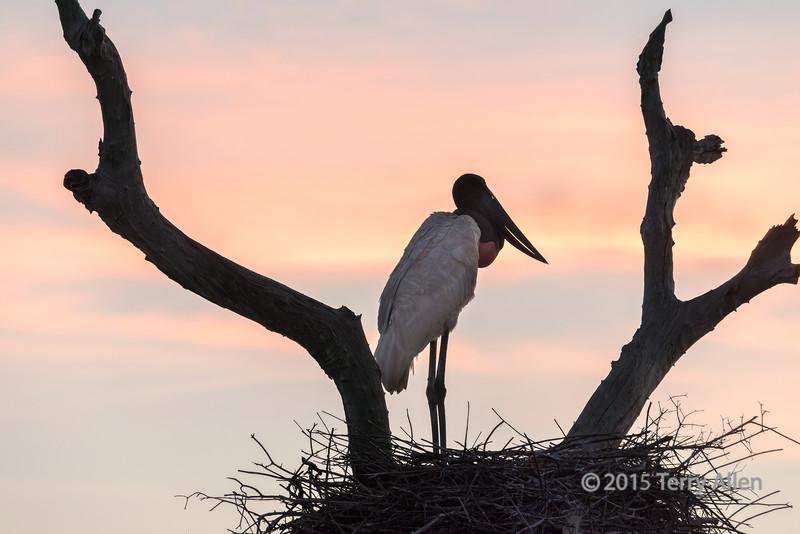 Jabiru stork on its nest at sunrise, Fazenda St Tereza, Pantanal, Brazil
