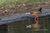 Grey-necked wood rail (Aramides cajaneus) with a mollusc in its beak, Pixaim River, Pantanal, Brazil