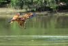 Black collared hawk (Busarellus nigricollis) swoops down on a fish, Pixaim River, Pantanal wetlands, Brazil