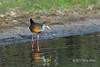 Grey-necked wood rail (Aramides cajaneus) on the river bank searching for food, Pixaim River, Pantanal, Brazil