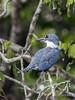 Ringed kingfisher (Megaceryl torquata) perched in a tree, Pixaim River, Pantanal, Brazil
