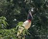 Jabiru stork (Jabiru mycteria) perched in a tree by the Pixaim river, late day, Pantanal, Brazil