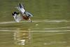 Ringed kingfisher (Megaceryle torquata) homes in on a fish, Pixaim River, Pantanal wetlands, Brazil